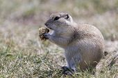 image of gopher  - This little Prairie Gopher is enjoying a granola snack - JPG