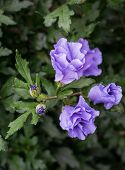 picture of rose sharon  - Closeup of blue purple buds and flowers of a Rose of Sharon or Hibiscus shrub in its natural habitat - JPG