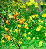 foto of kumquat  - closeup of a kumquat in a green and yellow field - JPG