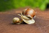 stock photo of garden snail  - Garden snail  - JPG