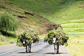 image of wild donkey  - Two Donkeys loaded with Wild Flowers on a Road in Southern Africa - JPG