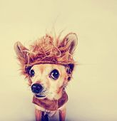 stock photo of chihuahua  - a tiny chihuahua in a lion costume toned with a retro vintage instagram filter  - JPG