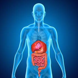 pic of rectum  - There are several organs and other components involved in the digestion of food and the largest structure of the digestive system is the gastrointestinal tract - JPG