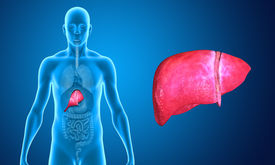 foto of organ  - The liver is a vital organ of the digestive system present in vertebrates and some other animals - JPG