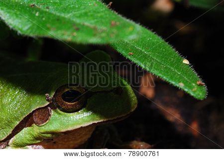 green tree frog below a leaf