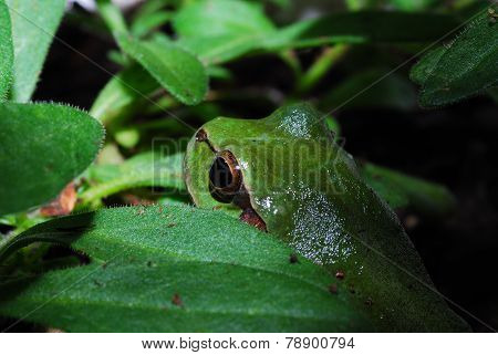 green frog between leaves