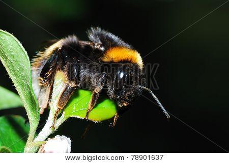 tired bumblebee