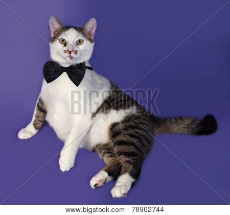White And Tabby Cat In Bow Tie Sitting On Blue