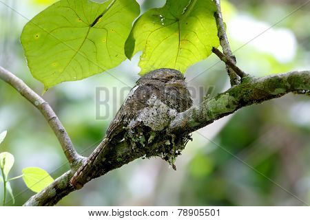 Javan Frogmouth Blyth's Frogmouth Batrachostomus Affinis