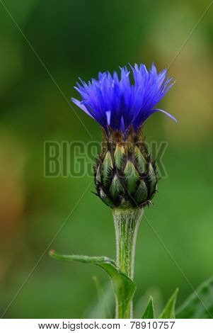 blue cornflower with soft background