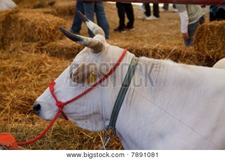 Cow on marketplace