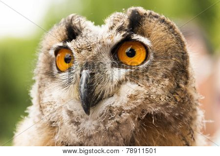 Owl Portrait in the nature