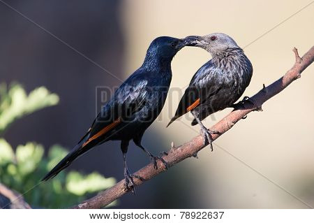 Pair of red winged starlings wit on a branch busy with courtship