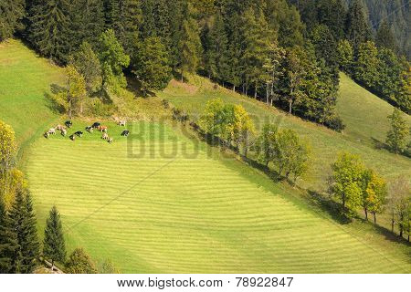 Herd of cows in Dolomites, European Alps, Italy