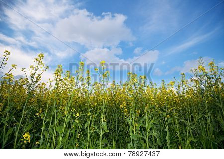 Canola Field And Sky With Clouds