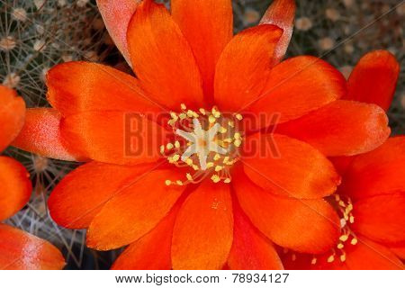 Rebutia cactus orange flowers