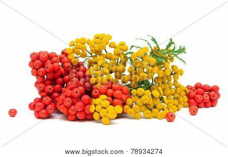 Tansy Flowers And Berries Red Mountain Ash Isolated On A White Background