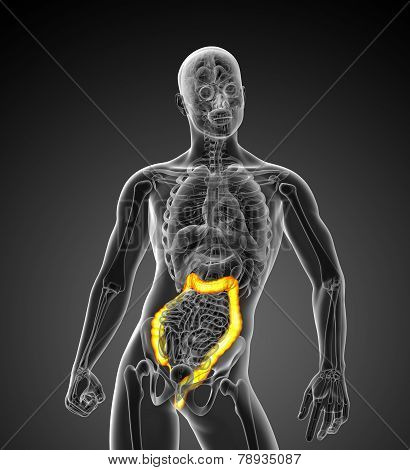3D Medical Illustration Of The Large Intestine