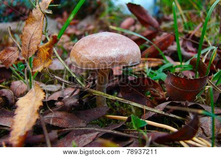 small inedible fungus
