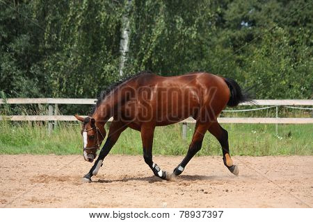 Beautiful Bay Horse Trotting At The Field