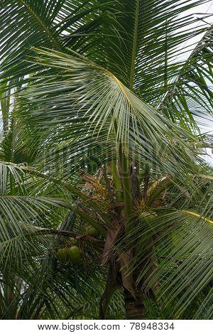 King Coconut Tree