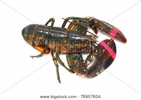 Caught Lobster