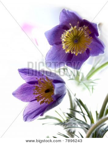 two pasque-flower
