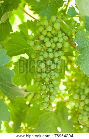 Green Shiraz
