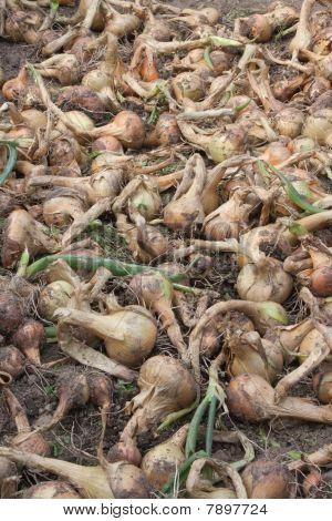 Onion harvest.