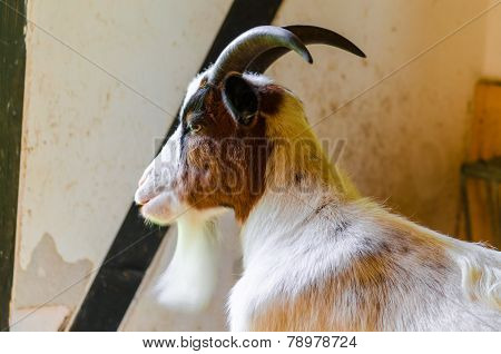 Domestic Goat,