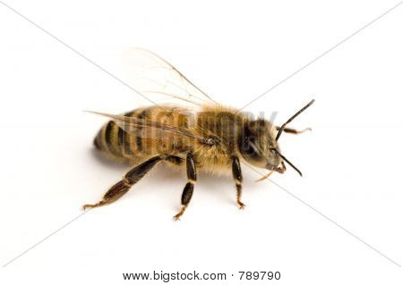 Arbeitnehmer Biene