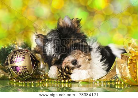 biewer Yorkshire terrier and Christmas ball