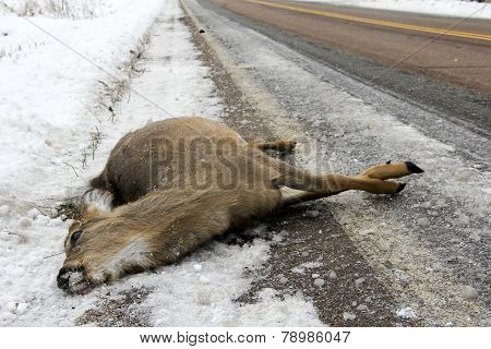 Dead Deer After An Accident With A Car