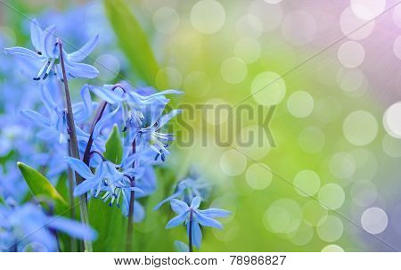Blue Spring Bluebells