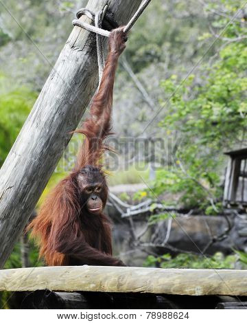 A hairy red orangutan sitting with an upstreched arm, hanging on to a rope.