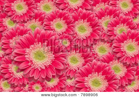 Bright Pink Gerber Daisies With Water Drops Background