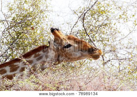 Giraffa Camelopardalis Grazing On Tree