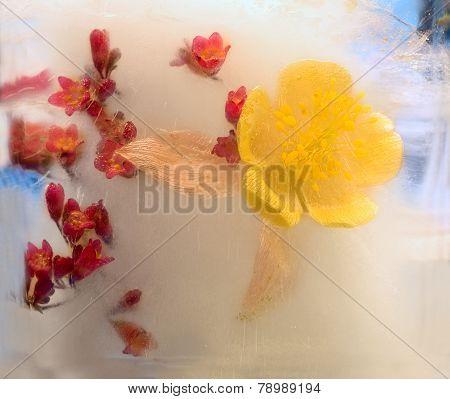 Frozen   Flower Of       Aquilegia