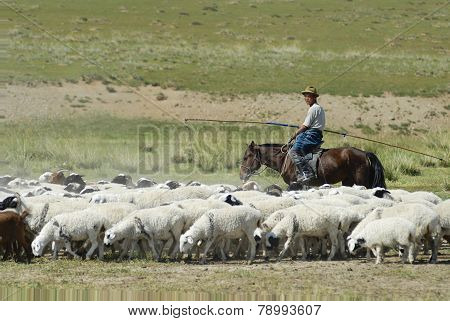 Mongolian tends herd of sheep circa Harhorin, Mongolia.
