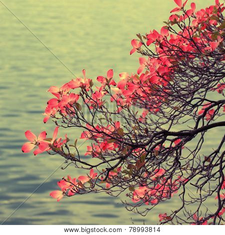 Magnolia Branch On Lake Background.