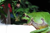 stock photo of orange frog  - small green tree frog on a white sitter in the garden and pot in the sun - JPG