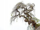 pic of contortion  - A twisted tree grown on a building isolated on a white background - JPG