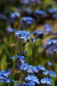 image of forget me not  - fresh blue forget - JPG