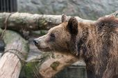 pic of omnivore  - A brown bear closed in a cage in the zoo