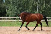 stock photo of breed horse  - Beautiful bay latvian breed horse trotting at the field near the fence - JPG