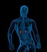 image of urethra  - 3d render medical illustration of the adrenal  - JPG