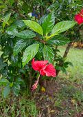 foto of hibiscus  - Red Hibiscus flower  - JPG