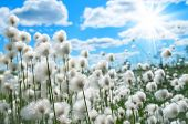 picture of marsh grass  - Flowering cotton grass on a background of blue sky - JPG