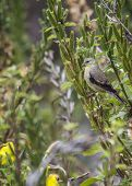 stock photo of mockingbird  - American Goldfinch spotted in Heron - JPG