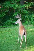 pic of black tail deer  - Deer with antlers in velvet slowly moving into the forest - JPG